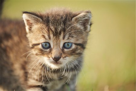 Portrait of Five Week Old Domestic Kitten (Felis silvestris catus) on Meadow in Late Summer, Upper Palatinate, Bavaria, Germany Stock Photo - Rights-Managed, Code: 700-08237078