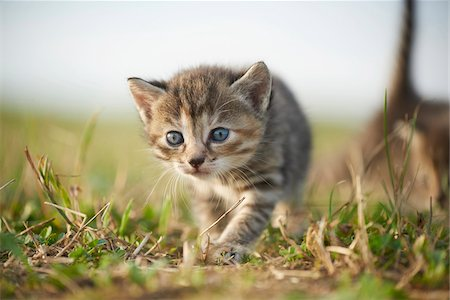 Five Week Old Domestic Kitten (Felis silvestris catus) on Meadow in Late Summer, Upper Palatinate, Bavaria, Germany Stock Photo - Rights-Managed, Code: 700-08237079