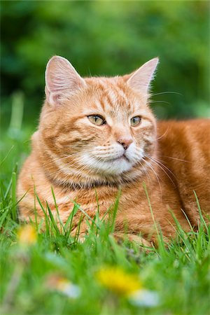 domestic - Portrati of Male House Cat laying on Grass, Germany Stock Photo - Rights-Managed, Code: 700-08232403
