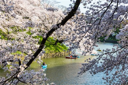 picture - Blooming Cherry Trees and Rowing Boats along Moat, Kitanomaru Park near the Imperial Palace, Chiyoda, Tokyo, Japan Stock Photo - Rights-Managed, Code: 700-08274182
