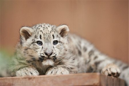 furry - Portrait of Snow Leopard (Panthera uncia) Youngster in Autumn, Germany Stock Photo - Rights-Managed, Code: 700-08274227