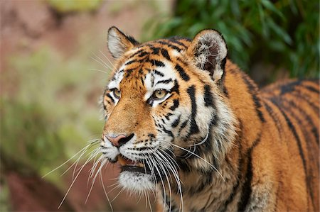 endangered animal - Portrait of Siberian Tiger (Panthera tigris altaica) in Autumn, Germany Stock Photo - Rights-Managed, Code: 700-08274229