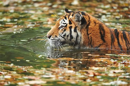 swimming - Close-up of Siberian Tiger (Panthera tigris altaica) in Water in Autumn, Germany Stock Photo - Rights-Managed, Code: 700-08274232