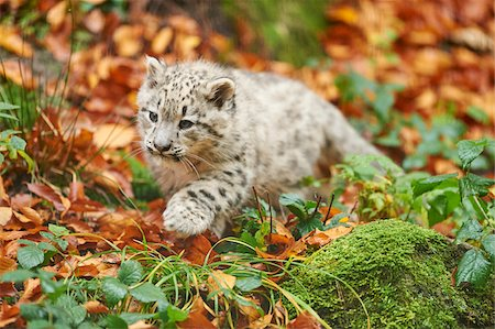 endangered animal - Portrait of Young Snow Leopard (Panthera uncia) in Autumn, Germany Stock Photo - Rights-Managed, Code: 700-08274241