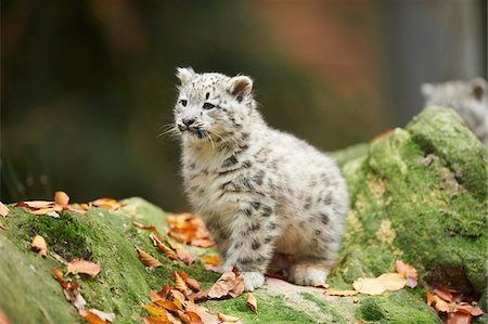 furry - Portrait of Young Snow Leopard (Panthera uncia) in Autumn, Germany Stock Photo - Rights-Managed, Code: 700-08312020