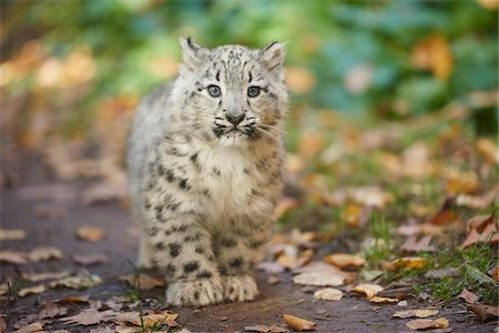 endangered animal - Portrait of Young Snow Leopard (Panthera uncia) in Autumn, Germany Stock Photo - Rights-Managed, Code: 700-08312037