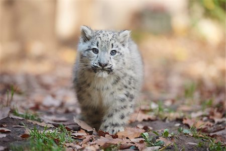 furry - Portrait of Young Snow Leopard (Panthera uncia) in Autumn, Germany Stock Photo - Rights-Managed, Code: 700-08312038