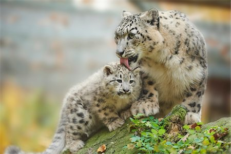 Portrait of Mother Snow Leopard (Panthera uncia) with Cub in Autumn, Germany Stock Photo - Rights-Managed, Code: 700-08312031