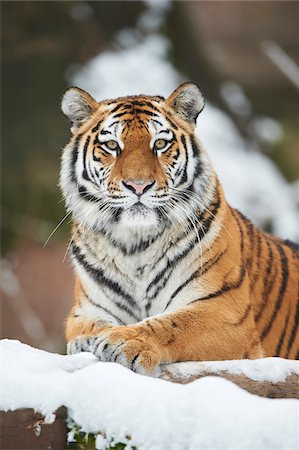 pictures cats - Portrait of Siberian Tiger (Panthera tigris altaica) in Winter, Germany Stock Photo - Rights-Managed, Code: 700-08353321