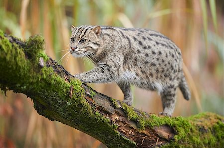 endangered animal - Portrait of Fishing Cat (Prionailurus viverrinus) in Autumn, Germany Stock Photo - Rights-Managed, Code: 700-08353341