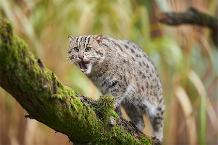 Portrait of Fishing Cat (Prionailurus viverrinus) in Autumn, Germany Stock Photo - Rights-Managed, Code: 700-08353342