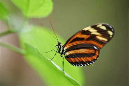 Close-up of a Tiger Longwing (Heliconius hecale) Stock Photo - Rights-Managed, Code: 700-08386095