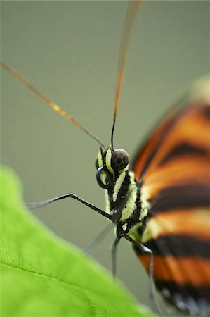 Close-up portrait of a Tiger Longwing (Heliconius hecale) Stock Photo - Rights-Managed, Code: 700-08386096