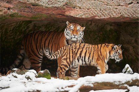 endangered animal - Close-up of a Siberian tiger (Panthera tigris altaica) mother with young cub in cave with snow in winter Stock Photo - Rights-Managed, Code: 700-08386104
