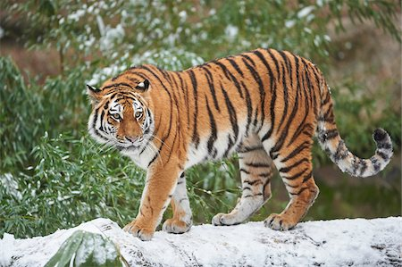 endangered animal - Close-up of a Siberian tiger (Panthera tigris altaica) on a snow coverd, fallen tree trunk in winter Stock Photo - Rights-Managed, Code: 700-08386105