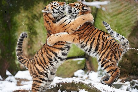 endangered animal - Close-up of two young Siberian tigers (Panthera tigris altaica) playing in snow in winter Stock Photo - Rights-Managed, Code: 700-08386107
