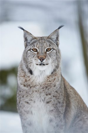 Close-up portrait of a Eurasian lynx (Lynx lynx) on a snowy winter day, Bavaria, Germany Stock Photo - Rights-Managed, Code: 700-08386108