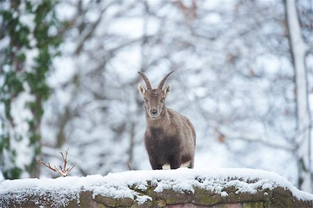 perception - Close-up portrait of an Alpine ibex (Capra ibex) on a snowy winter day, Bavaria, Germany Stock Photo - Rights-Managed, Code: 700-08386103