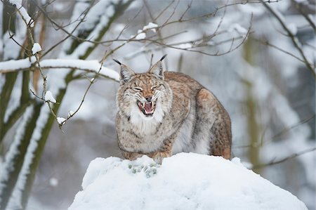 perception - Close-up of a Eurasian lynx (Lynx lynx) snarling on a snowy winter day, Bavaria, Germany Stock Photo - Rights-Managed, Code: 700-08386114