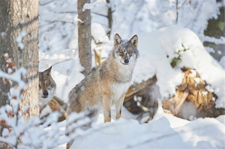 perception - Close-up of two Eurasian wolves (Canis lupus lupus) on a snowy winter day, Bavarian Forest, Bavaria, Germany Stock Photo - Rights-Managed, Code: 700-08386117