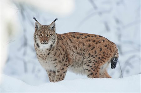 perception - Close-up portrait of a Eurasian lynx (Lynx lynx) on a snowy winter day, Bavarian Forest, Bavaria, Germany Stock Photo - Rights-Managed, Code: 700-08386119