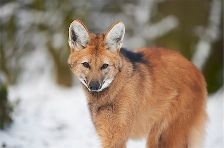 Close-up portrait of a maned wolf (Chrysocyon brachyurus) on a snowy winter day, Germany Stock Photo - Rights-Managed, Code: 700-08386112