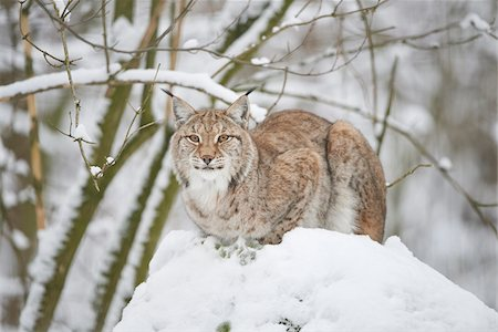 perception - Close-up portrait of a Eurasian lynx (Lynx lynx) on a snowy winter day, Bavaria, Germany Stock Photo - Rights-Managed, Code: 700-08386124