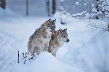 perception - Close-up of two Eurasian wolves (Canis lupus lupus) on a snowy winter day, Bavarian Forest, Bavaria, Germany Stock Photo - Rights-Managed, Code: 700-08386127