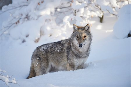 perception - Close-up portrait of a Eurasian wolf (Canis lupus lupus) on a snowy winter day, Bavarian Forest, Bavaria, Germany Stock Photo - Rights-Managed, Code: 700-08386128