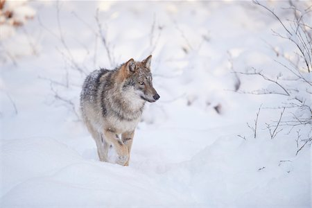perception - Close-up of a Eurasian wolf (Canis lupus lupus) walking in snow in winter, Bavarian Forest, Bavaria, Germany Stock Photo - Rights-Managed, Code: 700-08386138