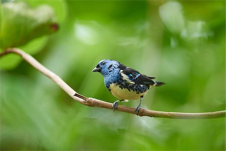 Close-up of a turquoise tanager (Tangara mexicana) in autumn, Germany Stock Photo - Rights-Managed, Code: 700-08386145