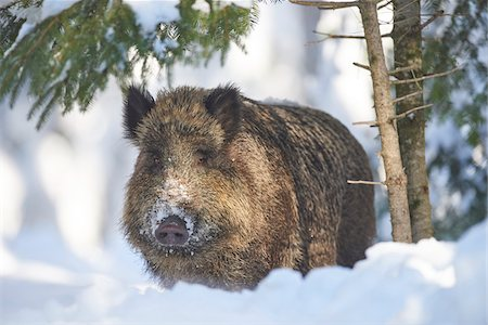 Close-up portrait of a wild boar (Sus scrofa) on a snowy winter day, Bavarian Forest, Bavaria, Germany Stock Photo - Rights-Managed, Code: 700-08386143