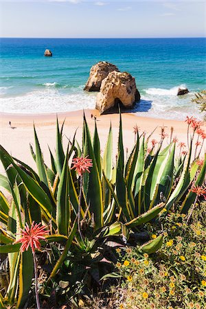 portuguese (places and things) - Agave Plants and Blooming Aloe Plants, Praia da Rocha, Algarve, Portugal Stock Photo - Rights-Managed, Code: 700-08416704