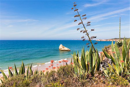portuguese (places and things) - Agave Plants and Blooming Aloe Plants, Praia da Rocha, Algarve, Portugal Stock Photo - Rights-Managed, Code: 700-08416716