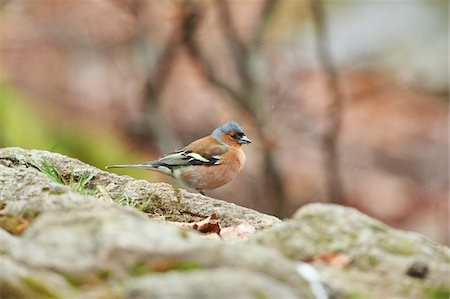 fringilla - Close-up of Common Chaffinch (Fringilla coelebs) in Bavarian Forest in Spring, Bavaria, Germany Stock Photo - Rights-Managed, Code: 700-08519395