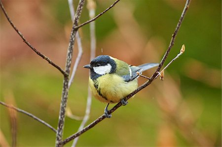 Close-up of European Great Tit (Parus major) in Bavarian Forest in Spring, Bavaria, Germany Stock Photo - Rights-Managed, Code: 700-08519396