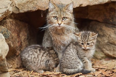 Portrait of European Wildcat (Felis silvestris silvestris) Mother with Kitten in Bavarian Forest in Spring, Bavaria, Germany Stock Photo - Rights-Managed, Code: 700-08519459