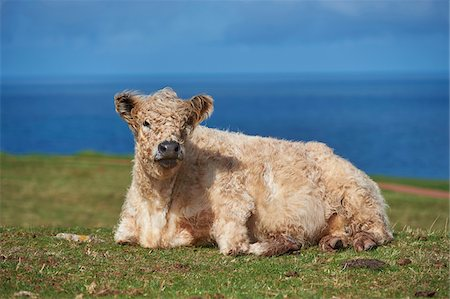 Close-up of a highland cattle (Bos taurus) in spring (april) on Helgoland, a small Island of northern Germany Stock Photo - Rights-Managed, Code: 700-08533982