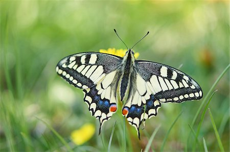 Old World Swallowtail (Papilio machaon) on Common Dandelion (Taraxacum officinale) in Meadow, Upper Palatinate, Bavaria, Germany Stock Photo - Rights-Managed, Code: 700-08548001