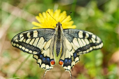 Old World Swallowtail (Papilio machaon) on Common Dandelion (Taraxacum officinale) in Meadow, Upper Palatinate, Bavaria, Germany Stock Photo - Rights-Managed, Code: 700-08548002
