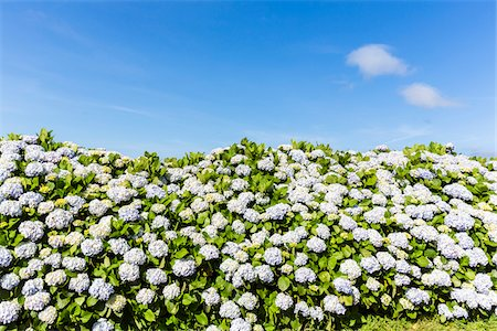 portuguese (places and things) - Blooming Hortensia and blue sky, Norte Grande, Sao Jorge Island, Azores, Portugal Stock Photo - Rights-Managed, Code: 700-08540052