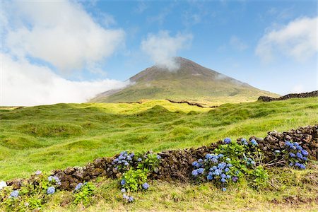 portugal - Hortensia blooming by a lava stone wall in front of pastureland and Mount Pico (2351 m), Pico Island, Azores, Portugal Stock Photo - Rights-Managed, Code: 700-08540094