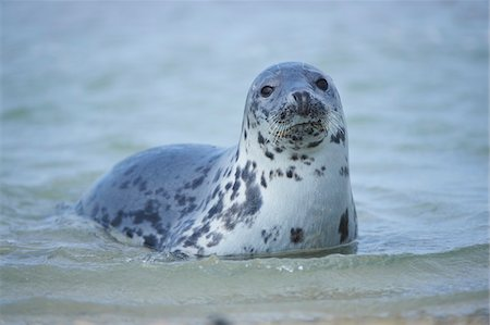perception - Close-up of Eastern Atlantic harbor seal (Phoca vituliana vitulina) in spring (april) on Helgoland, a small Island of Northern Germany Stock Photo - Rights-Managed, Code: 700-08542808