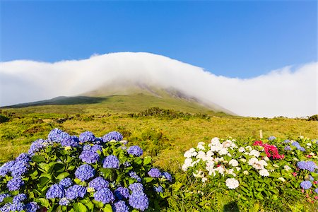 portuguese (places and things) - Blooming Hortensia in front of pastureland and cloud covered Mount Pico (2351 m), Pico Island, Azores, Portugal Stock Photo - Rights-Managed, Code: 700-08567249