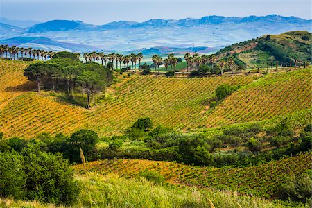 Overview of rolling hills of farmland with fields of vinyards with palm trees near Calatafimi-Segesta in the Province of Trapani in Sicily, Italy Stock Photo - Rights-Managed, Code: 700-08701980