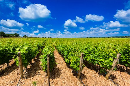 Rows of Grapevines in Vineyard near Alberobello, Puglia, Italy Stock Photo - Rights-Managed, Code: 700-08739712