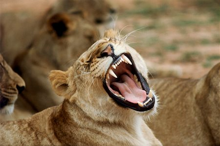 roar lion head picture - Lioness Growling Kruger National Park South Africa Stock Photo - Rights-Managed, Code: 700-00001647