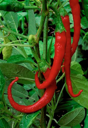 peter griffith - Close-Up of Chilli Pepper Plant Stock Photo - Rights-Managed, Code: 700-00018533