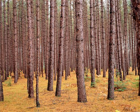 peter griffith - Pine Forest Algonquin Provincial Park Ontario, Canada Stock Photo - Rights-Managed, Code: 700-00013880