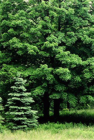 Maple Trees in Summer High Park Toronto, Ontario, Canada (Part of 4 Seasons Series) Stock Photo - Rights-Managed, Code: 700-00025479